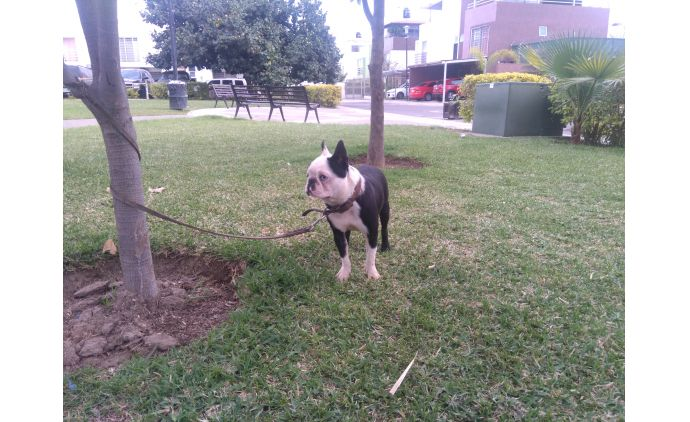 Legitimo Macho Boston Terrier Miniatura 1.8 Años